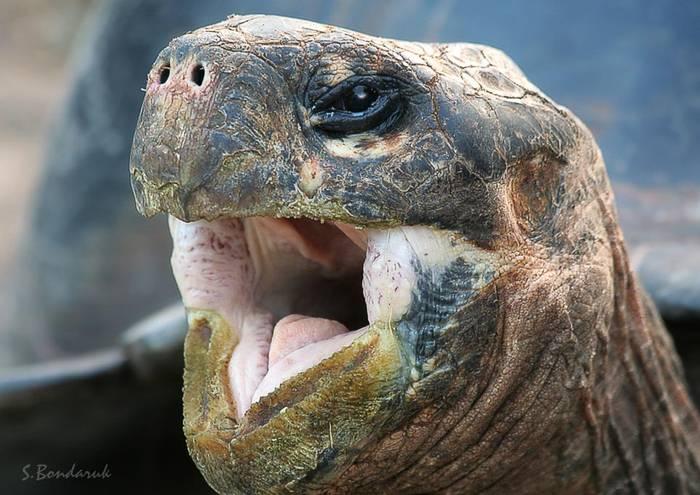 Почему красноухая черепаха широко открывает рот. как открыть рот черепахе