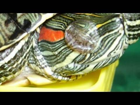 Пневмония у красноухой черепахи