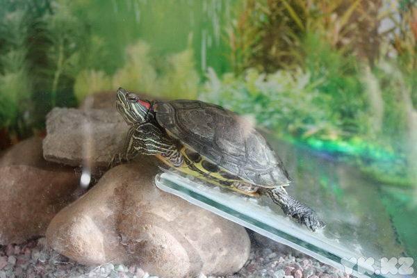 Приручить черепаху