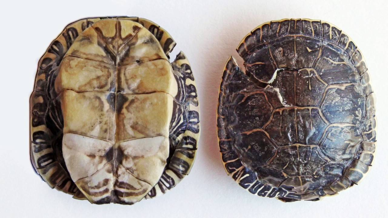 Черепаха — древнейший представитель рептилий, описание, особенности, характеристики, интересные факты