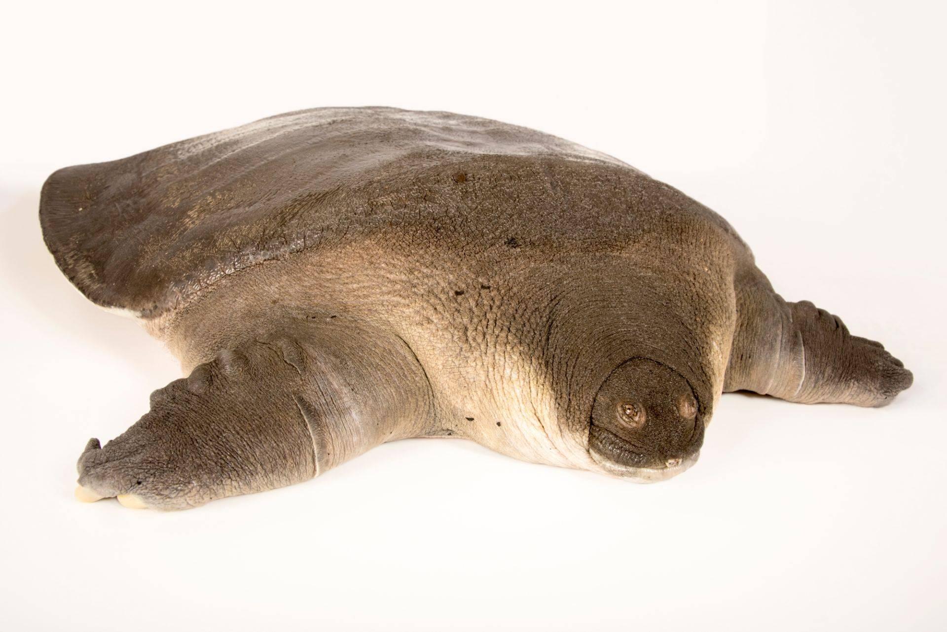 Трионикс: дальневосточная мягкотелая черепаха с длинной шеей, содержание в домашних условиях, размножение