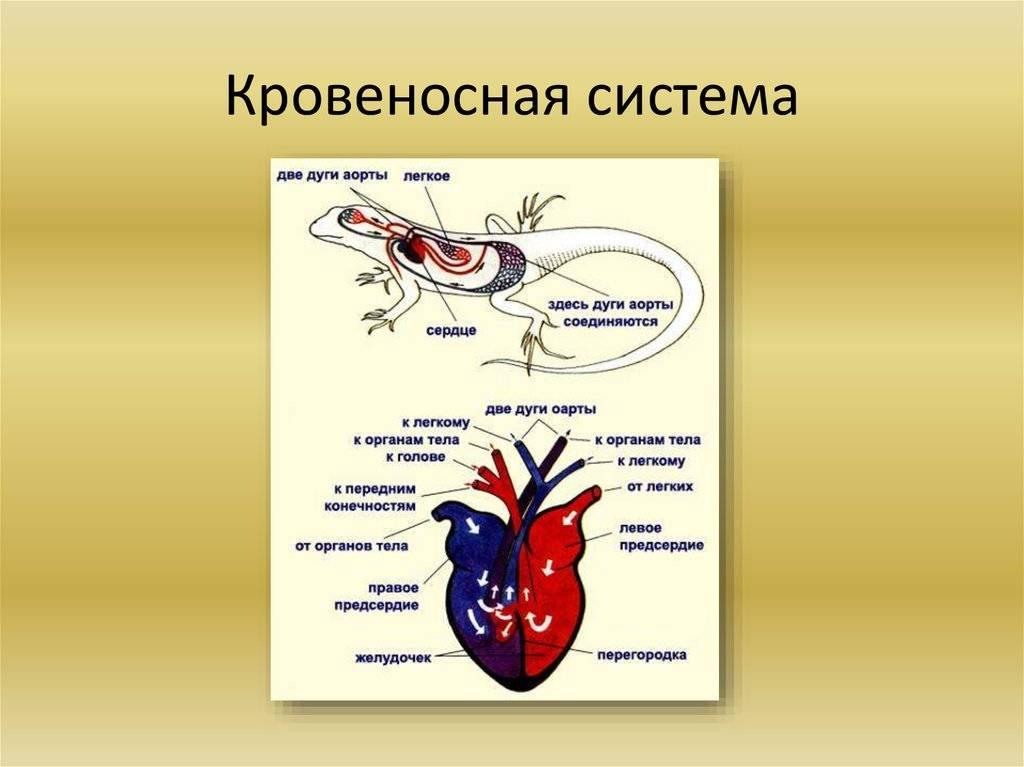 Кровеносная система лошади - circulatory system of the horse