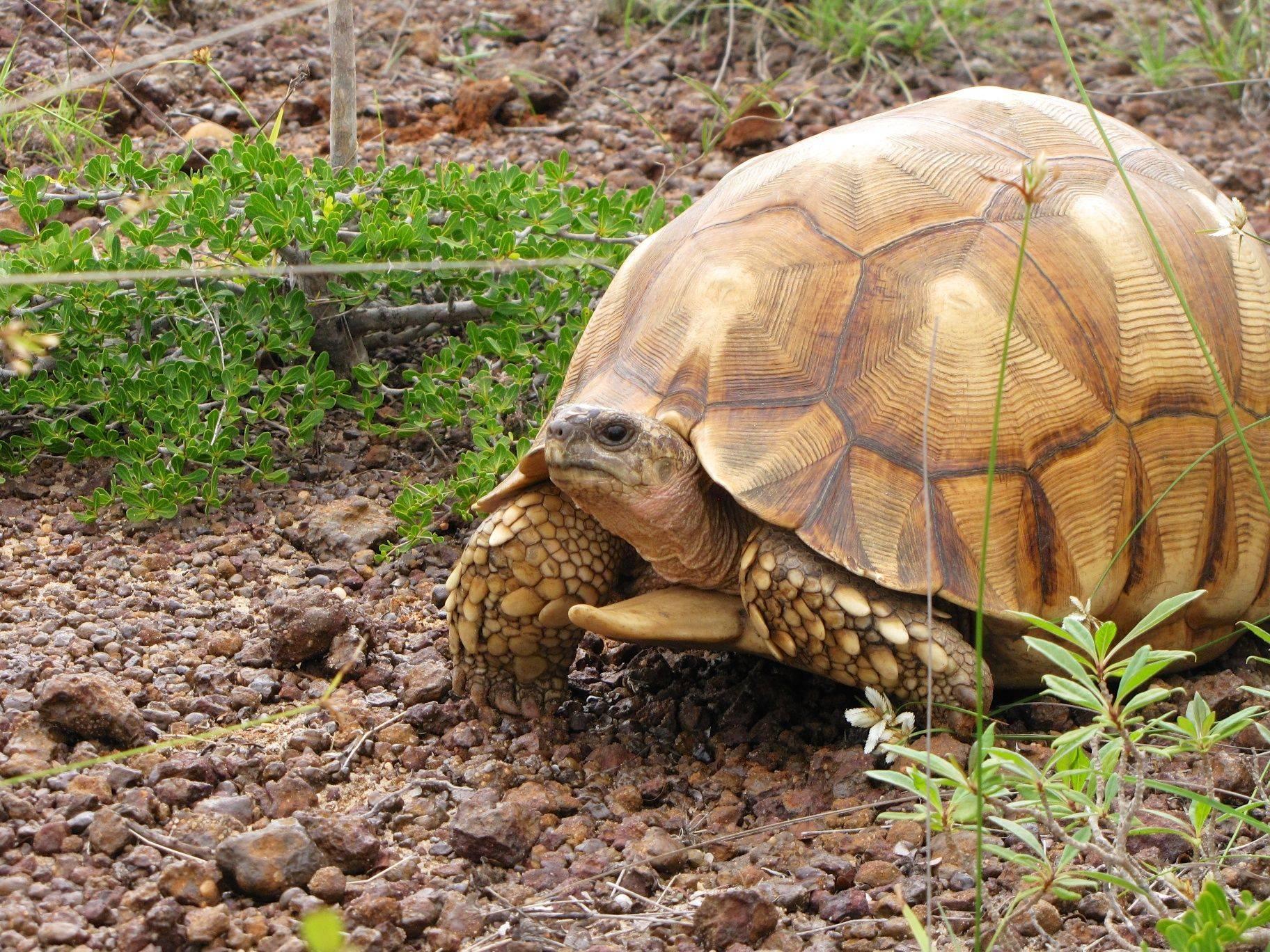 Мадагаскарская клювогрудая черепаха — википедия