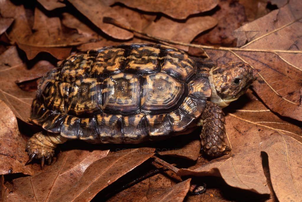 Гиганты среди пресмыкающихся или самая большая черепаха в мире