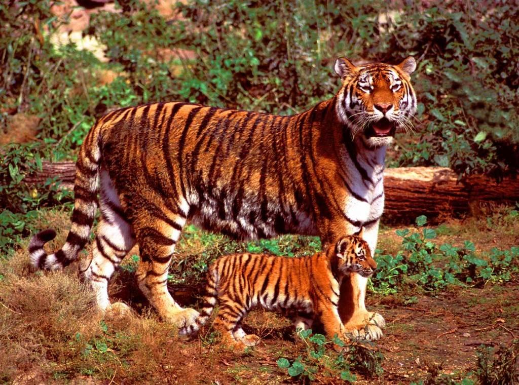 Тигр – одинокий охотник. Виды тигров
