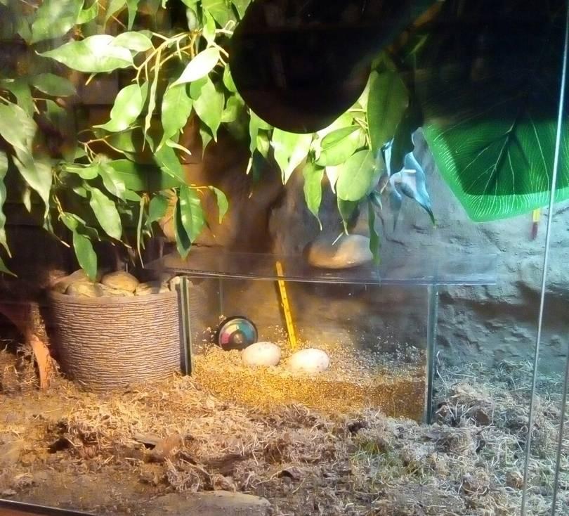 Инкубация куриных яиц: режимы инкубации, таблица температуры