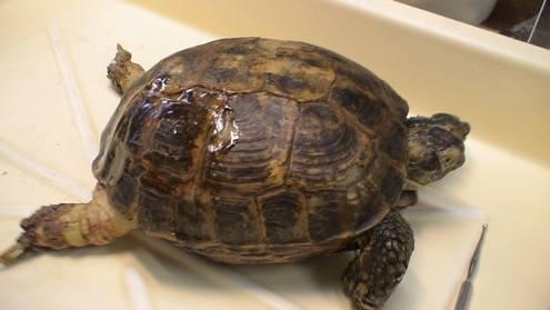 Почечная недостаточность у черепахи