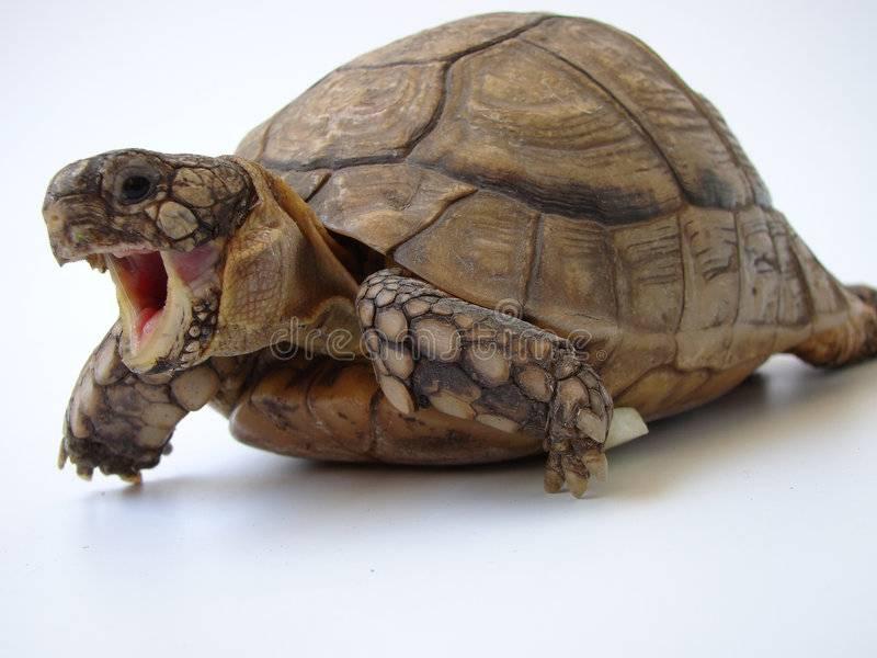 Лечение красноухой черепахи: не отрываются глаза