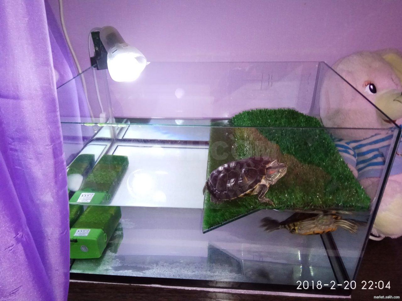 Красноухие черепахи в домашних условиях
