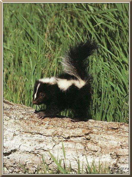 Скунс: фото, образ жизни животного
