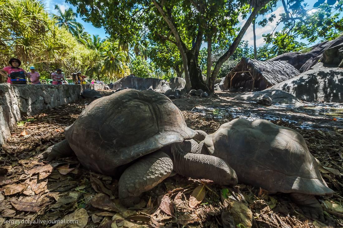 Aldabrachelys gigantea (гигантская, сейшельская черепаха)