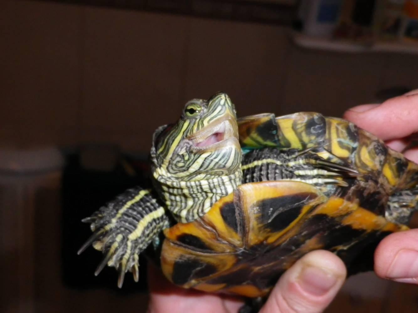 Все болезни красноухой черепахи и её лечение