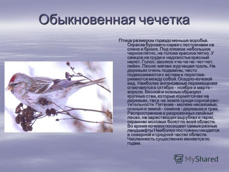 Птица Чечетка