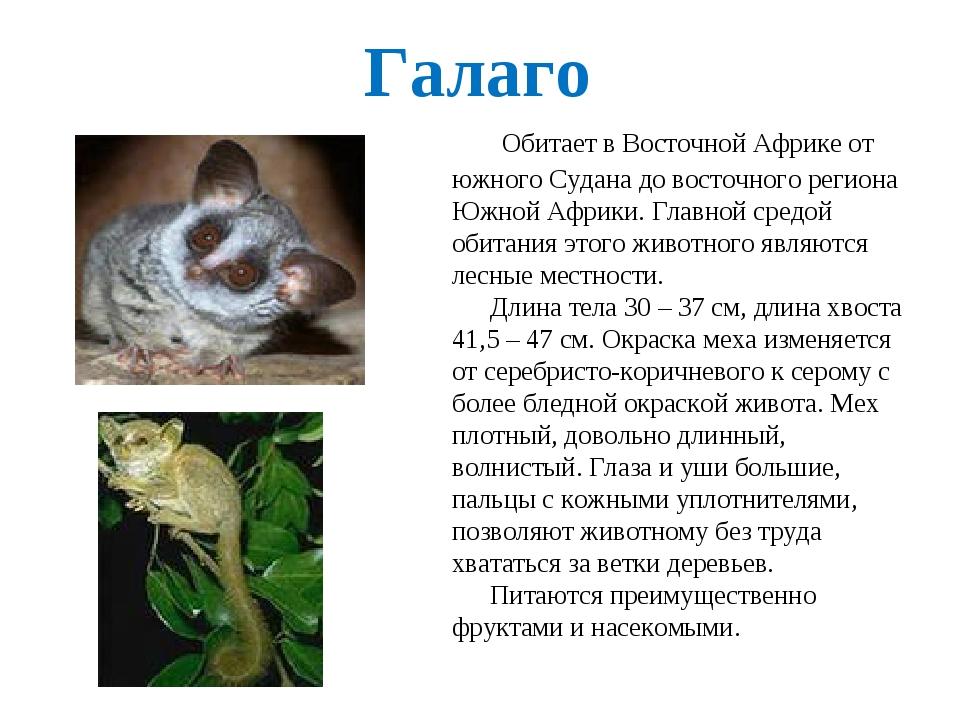 Галаго – особенности зверька, фото и описание