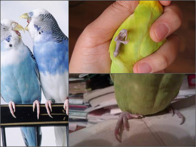 Как разводить волнистых попугаев в домашних условиях