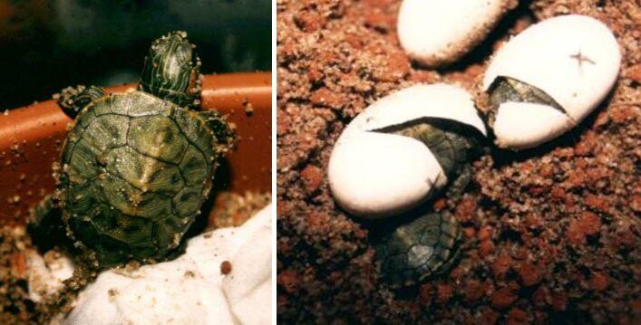 Размножение улиток ахатин и уход за их яйцами