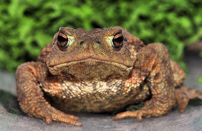 Серая жаба или озерная лягушка