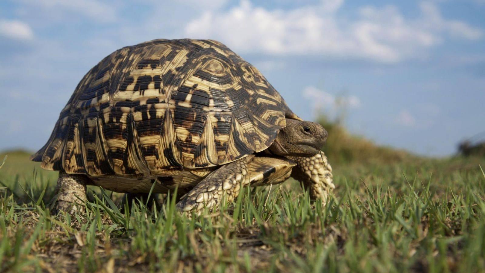 Черепахи: что едят в домашних условиях, как определить возраст и пол рептилии, сколько лет живут