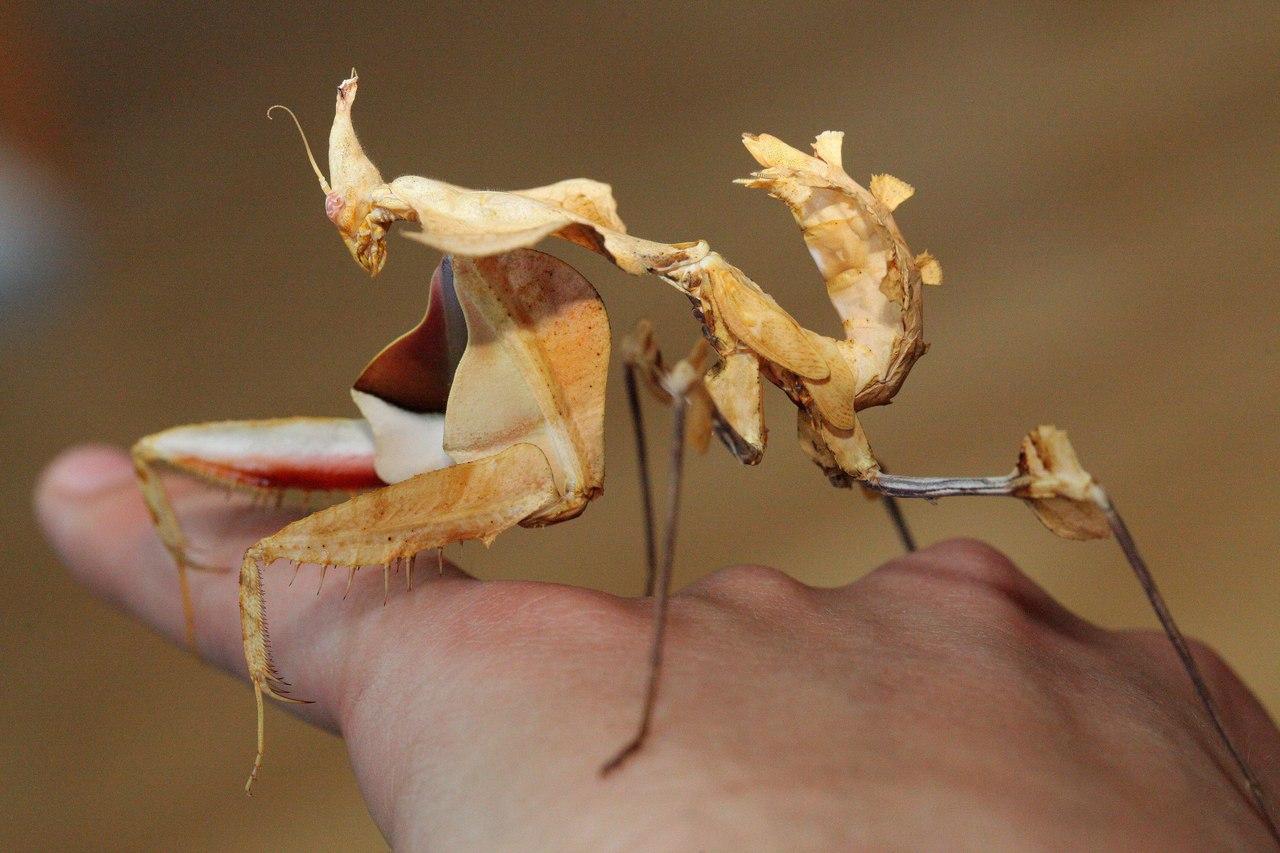 Богомол – поразительное насекомое