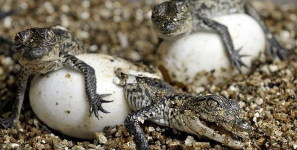 Красноухие черепахи — интересные факты