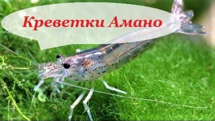 Креветка Амано