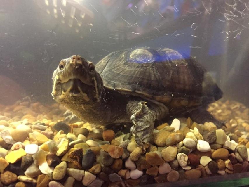 Правильное содержание мускусной обыкновенной черепаха
