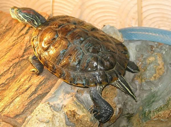 Большая черепаха гневный панцирь - npc - world of warcraft