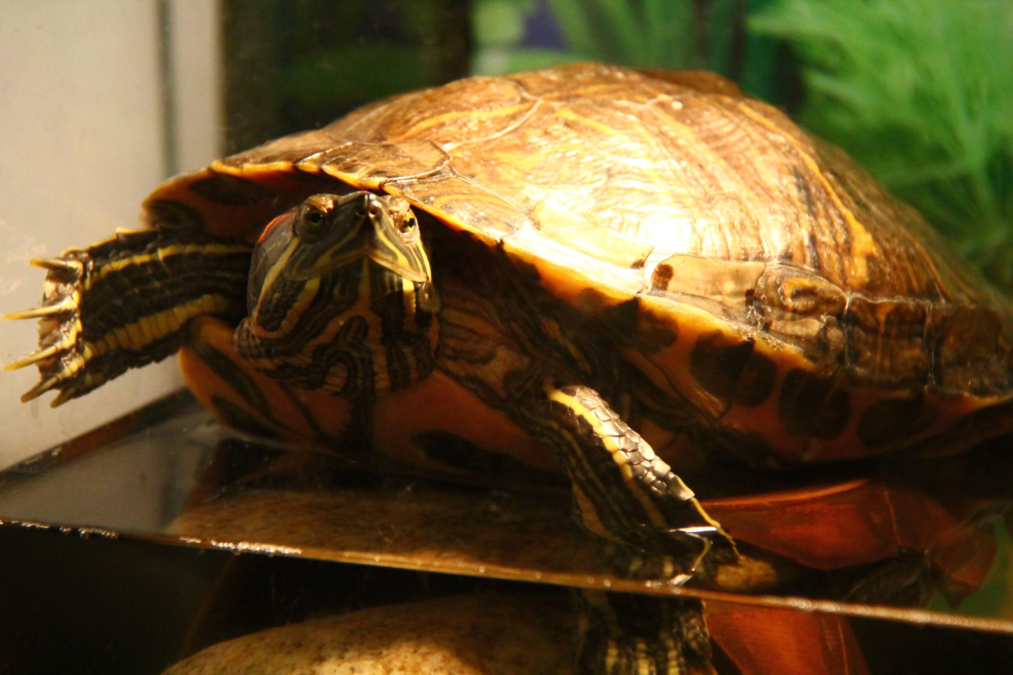 Как разбудить черепаху | мои домашние питомцы