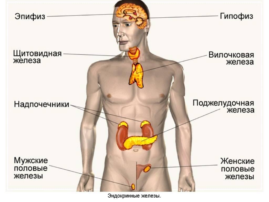 Железы эндокринной системы: строение и функции