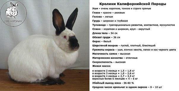 Карликовый кролик: размеры и возраст