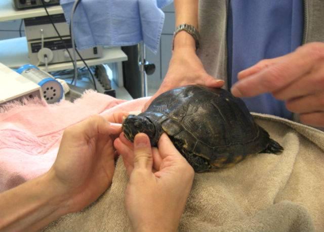 Черепаха не ест – причины и лечение. почему черепаха не хочет есть