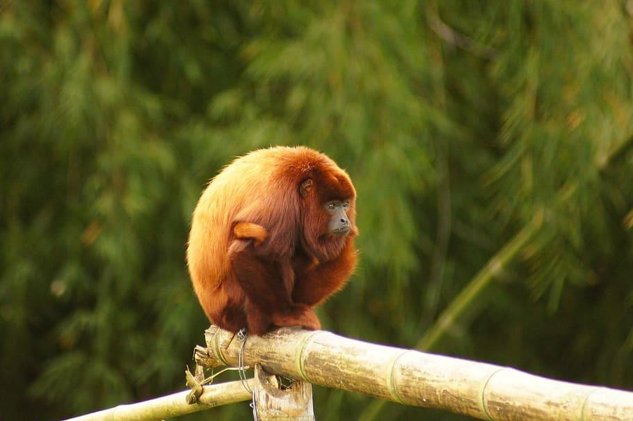 Ревун – самая шумная обезьяна