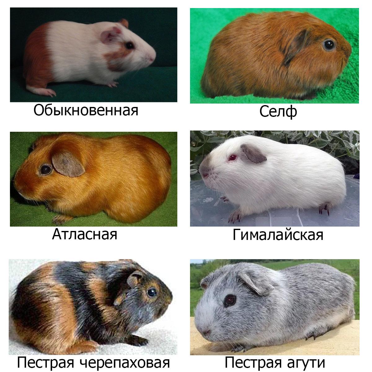 Породы морских свинок
