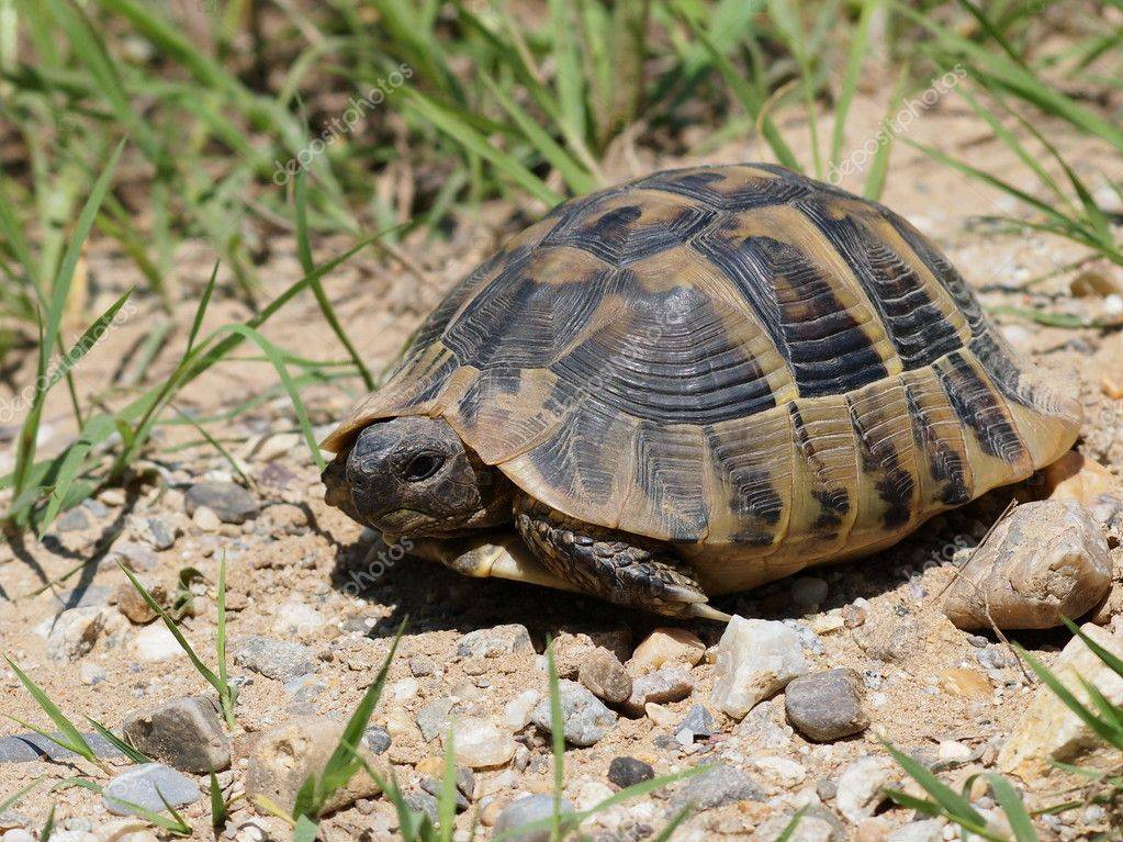 Балканская черепаха