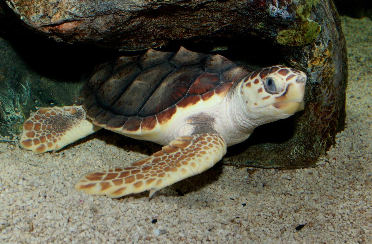 Матамата, черепаха с причудливой внешностью