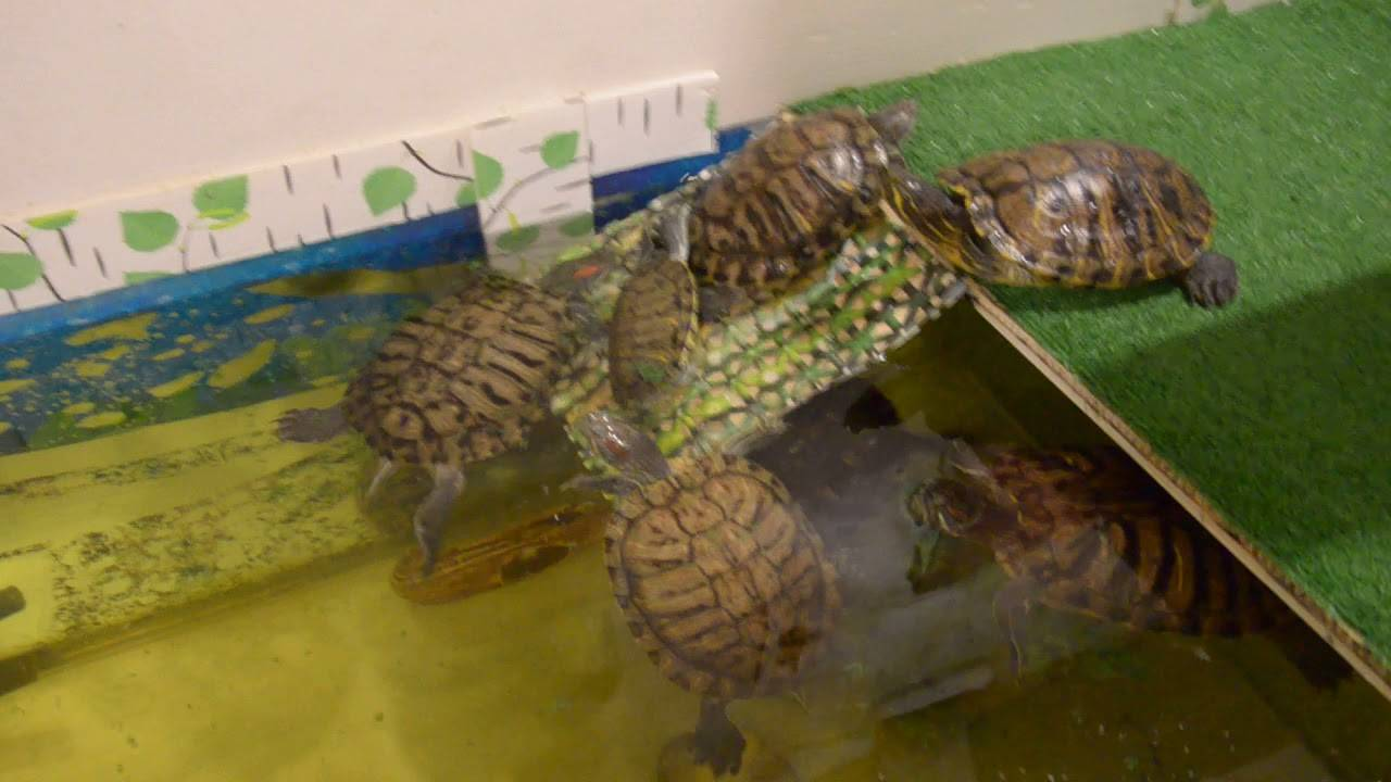 Как размножаются черепахи в неволе: необходимые условия
