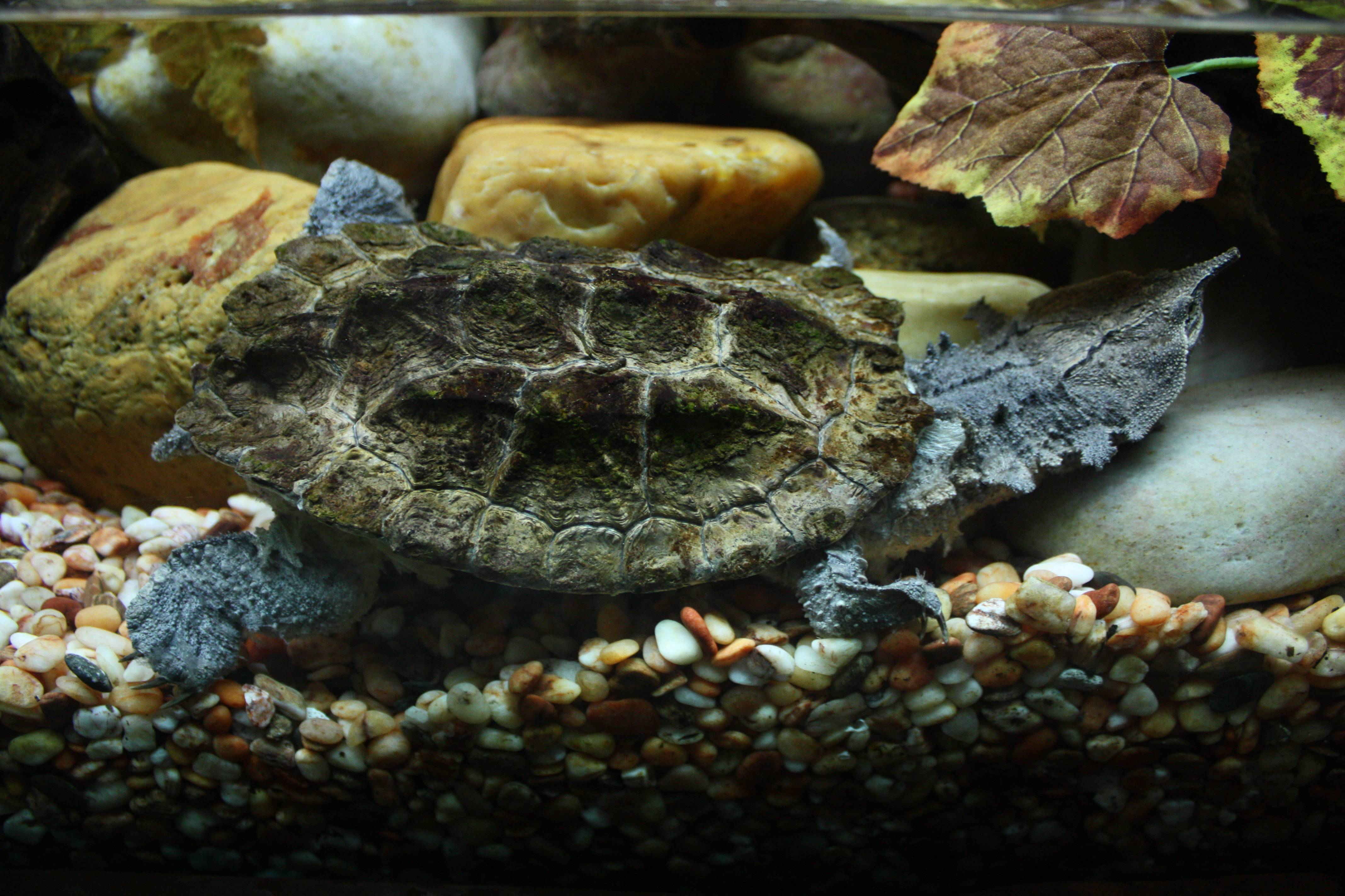 Бахромчатая черепаха или матамата — мастер маскировки