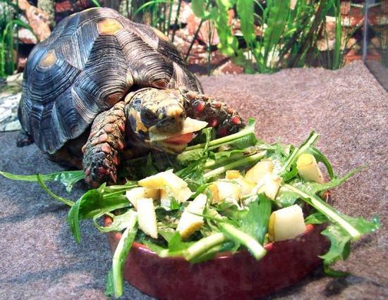 Средиземноморское кормление черепах - животные - 2020