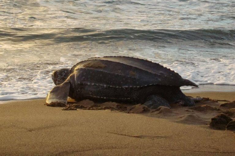 Leatherback морская черепаха - leatherback sea turtle - qwe.wiki