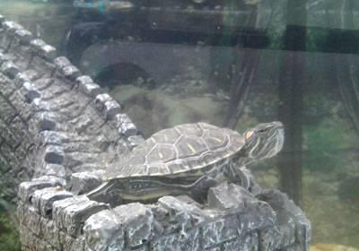 Разбираемся — сколько нужно и какой воды в аквариуме для красноухой черепахи?