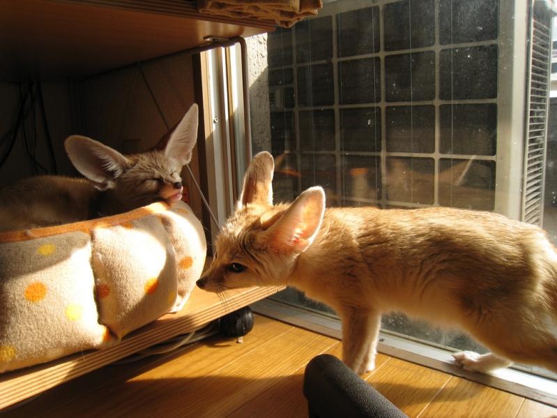 Лиса фенек — домашний питомец