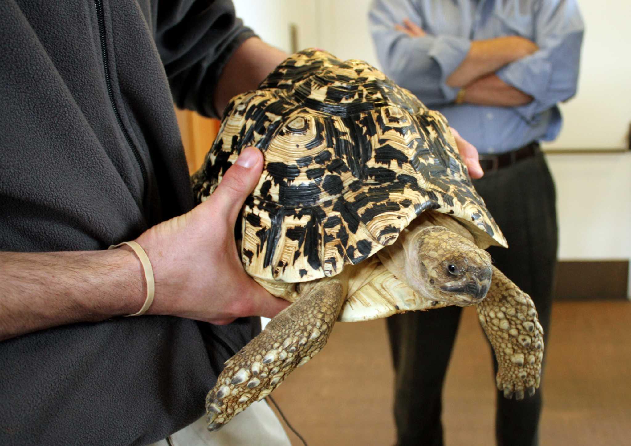 Пантеровые черепахи: условия содержания в домашних условиях