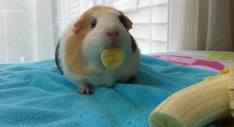 Киви: можно ли давать морским свинкам?