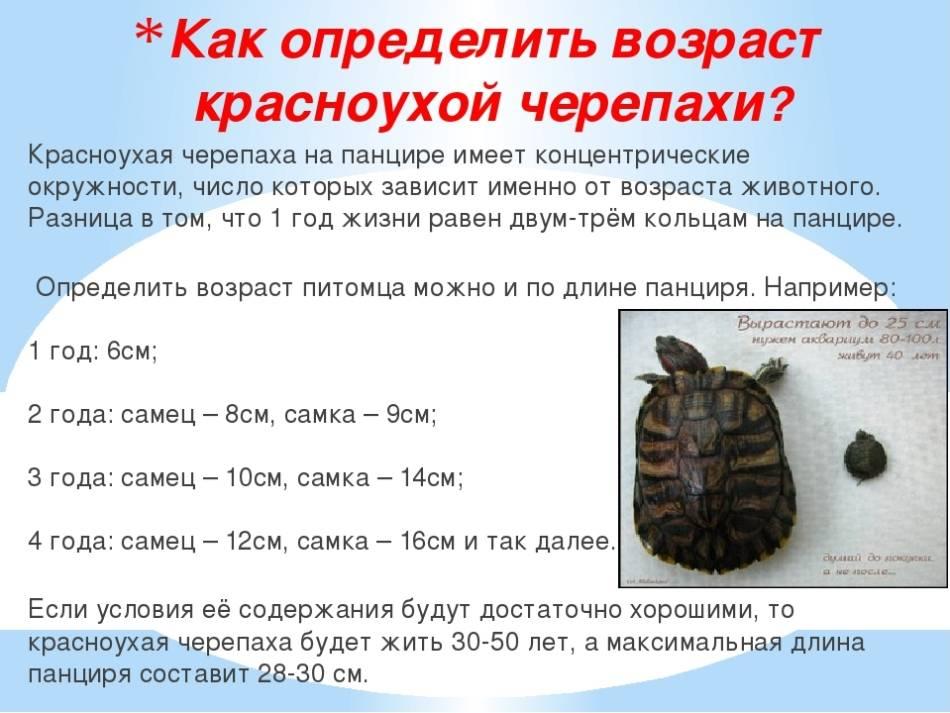Сухопутные черепахи: виды, правила ухода и содержания