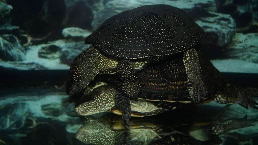 Угольная черепаха — википедия. что такое угольная черепаха