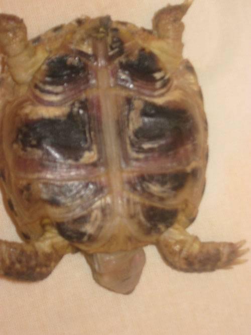 Дерматит у черепах