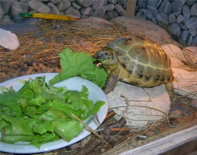 Чем можно и нельзя кормить красноухих черепах?