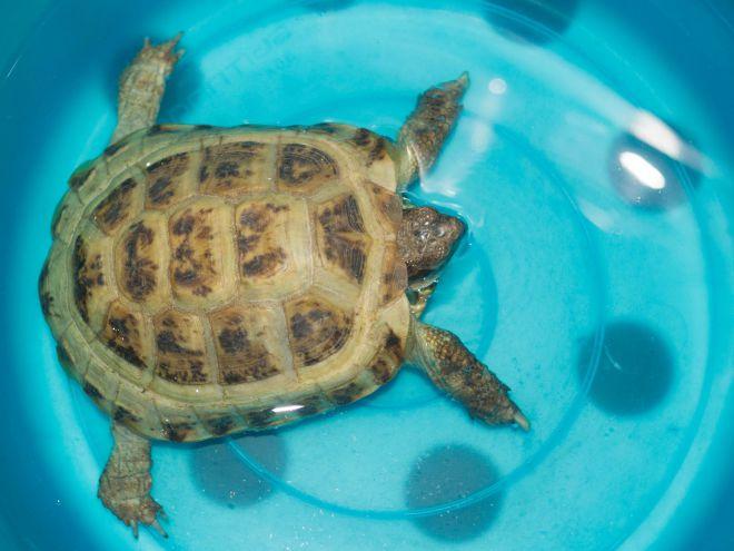 Линька у красноухих черепах, почему отслаивается панцирь