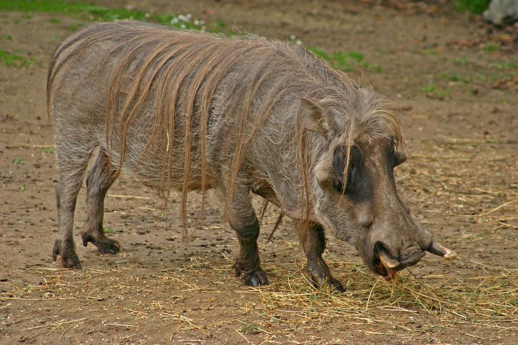 Бородавочник (африканская свинья)
