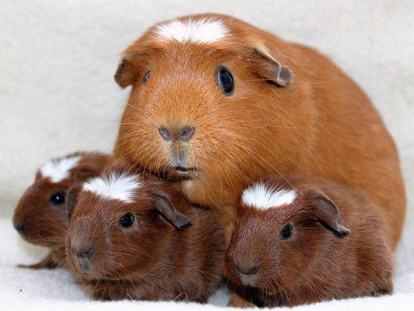 Все о морских свинках породы крестед